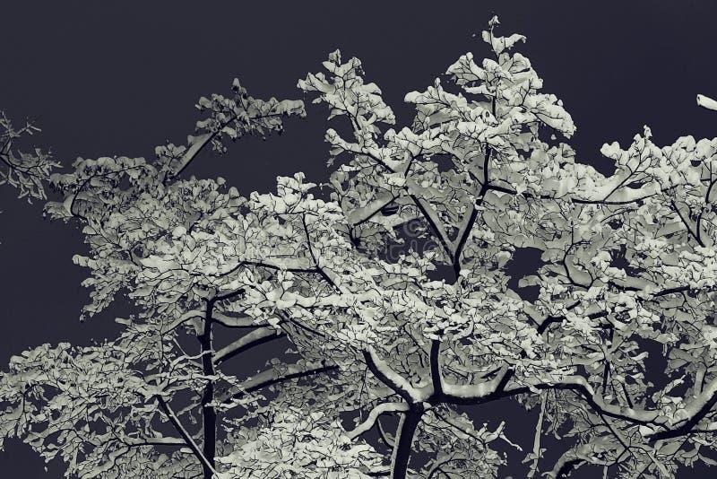 Fond avec les branches neigeuses photo stock