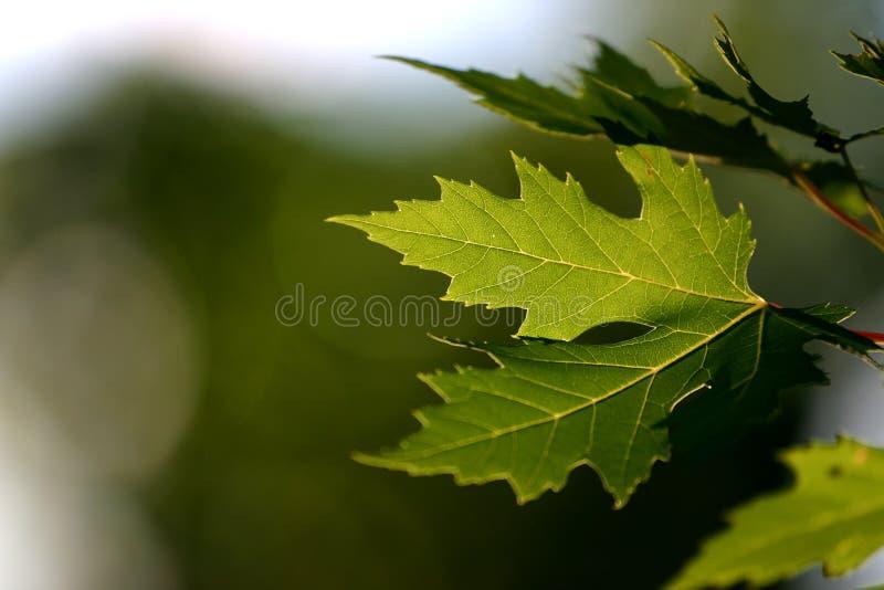 Fond avec les lames vertes d'érable photos libres de droits