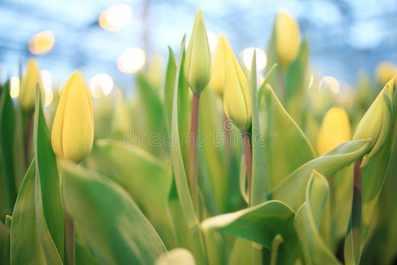 Fond avec les tulipes jaunes photo libre de droits