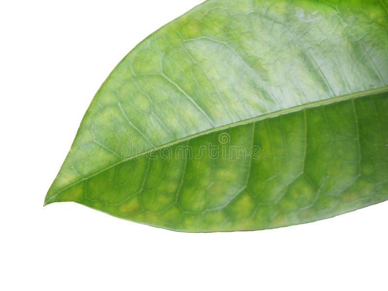 Fond blanc d'isolement par feuille verte images stock