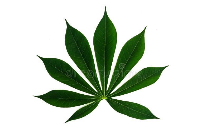 Fond blanc d'isolement par feuille verte de manioc photo stock