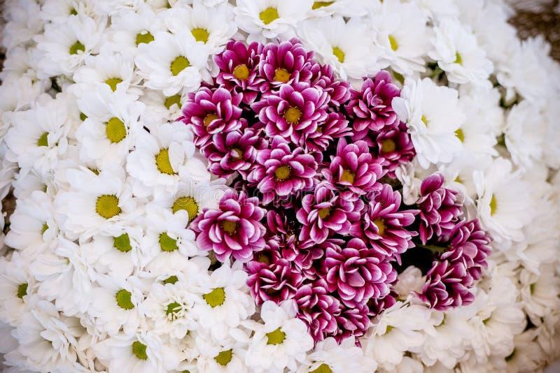 Fond blanc de fleur de chrysanthème Bouquet des chrysanthèmes blanc rouge comme le modèle minuscule d'impression florale de margu images libres de droits