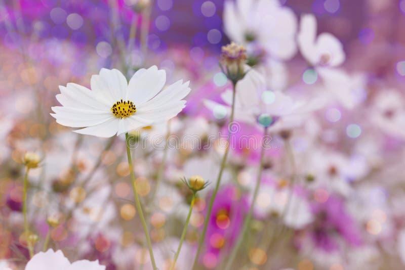 Fond blanc de fleur de cosmos avec le bokeh photos stock