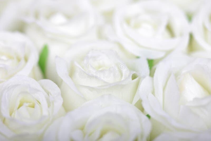 Fond blanc de roses photographie stock libre de droits