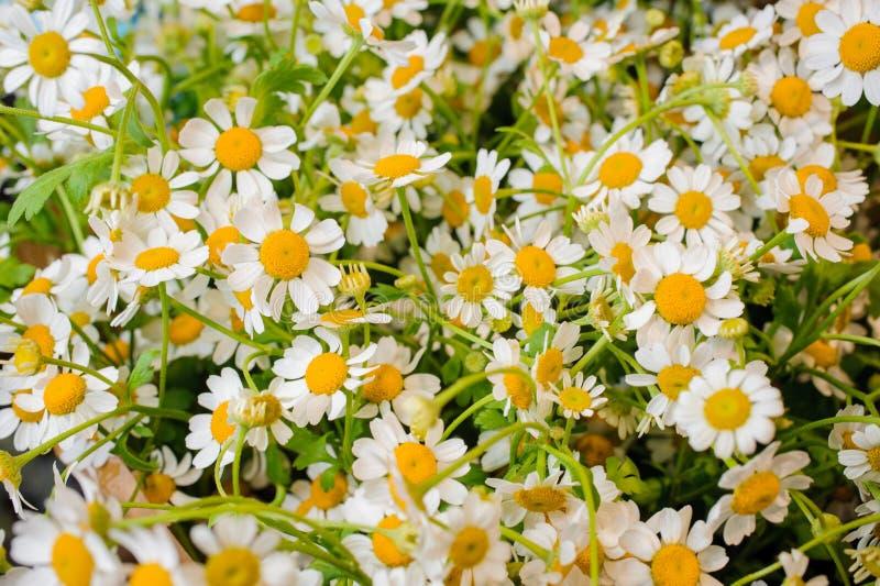 Fond blanc et jaune de fleur fraîche de camomille photos stock