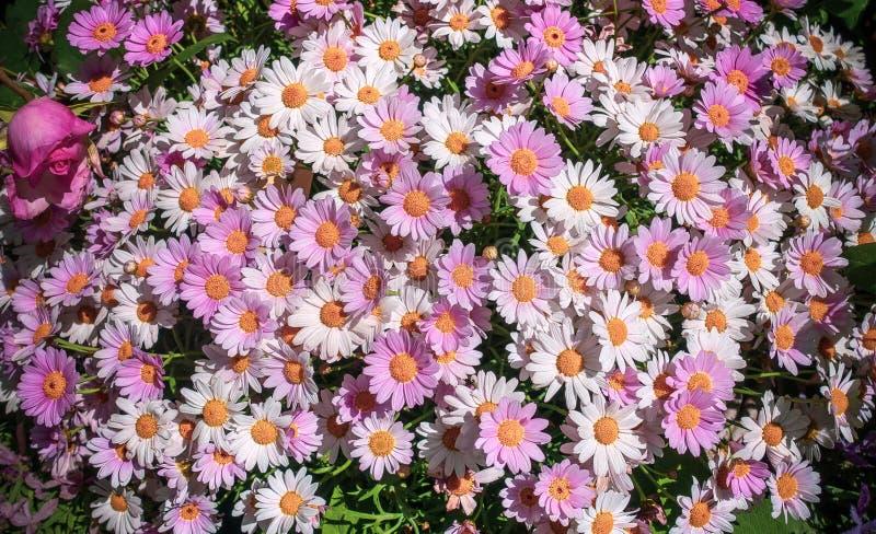 Fond blanc et rose de marguerites marguerite Flutescens d'Argyrantheum Cadeau pour Valentine ou le jour de mère photographie stock libre de droits