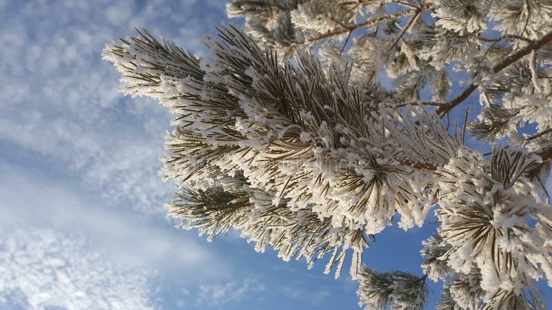Fond bleu brouillé décoré des branches de pin couvertes de cristaux de gelée Aiguilles congelées de sapin couvertes de photos libres de droits