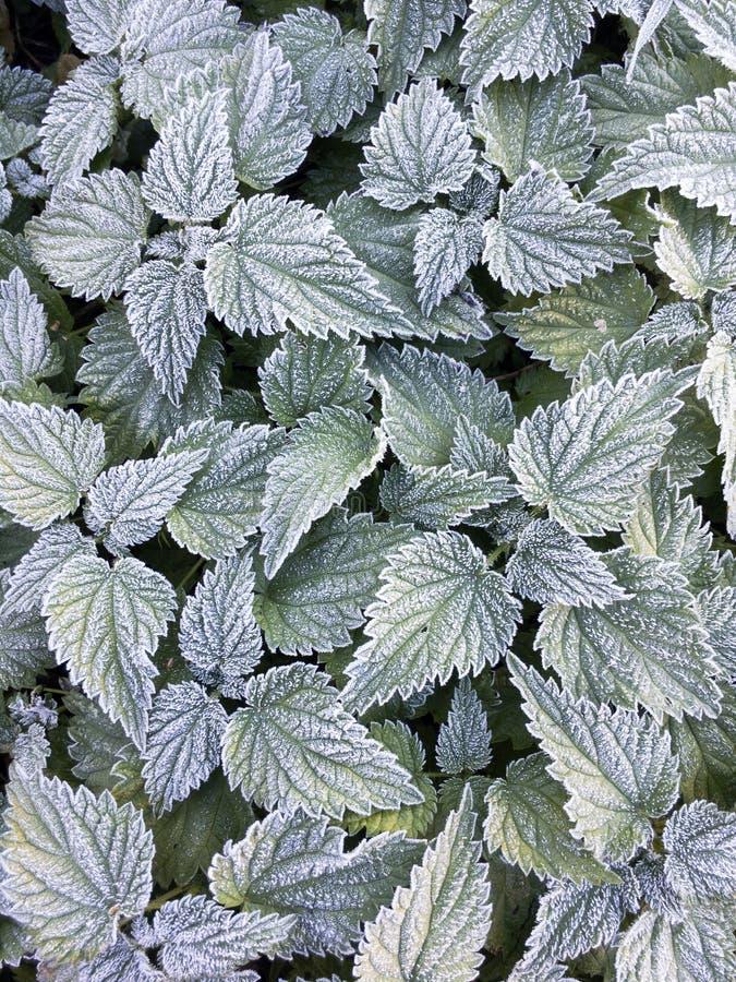 Fond botanique de texture L'ortie frosen des feuilles en gelée photo stock