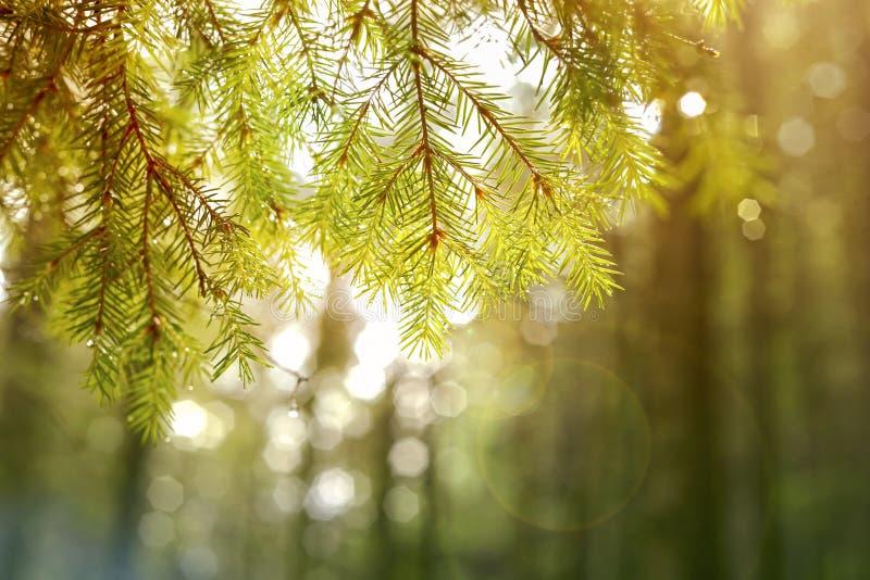 Fond Branche d'arbre de sapin photo stock