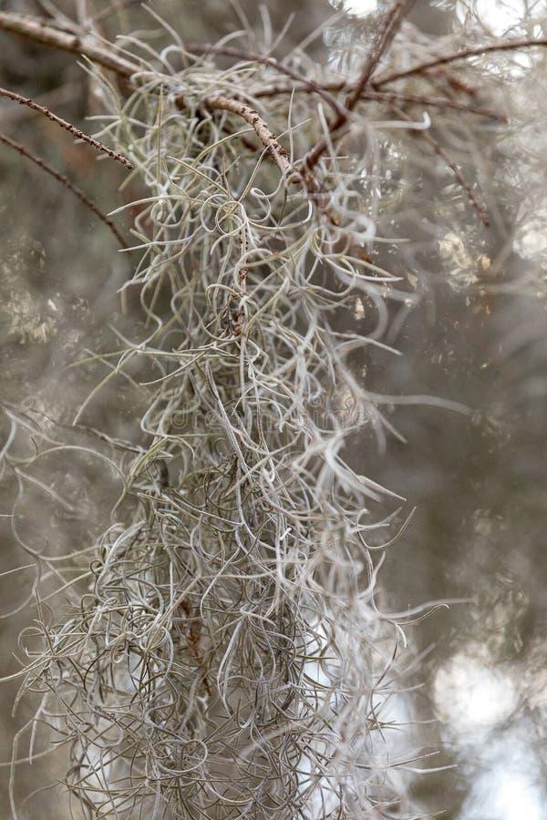 Fond bronzage pâle de mousse espagnole dans les marais de la Nouvelle-Orléans photo stock