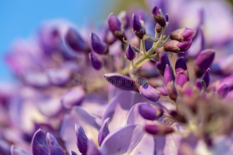Fond brouill? abstrait avec la glycine de floraison Photographie de beaux-arts image libre de droits
