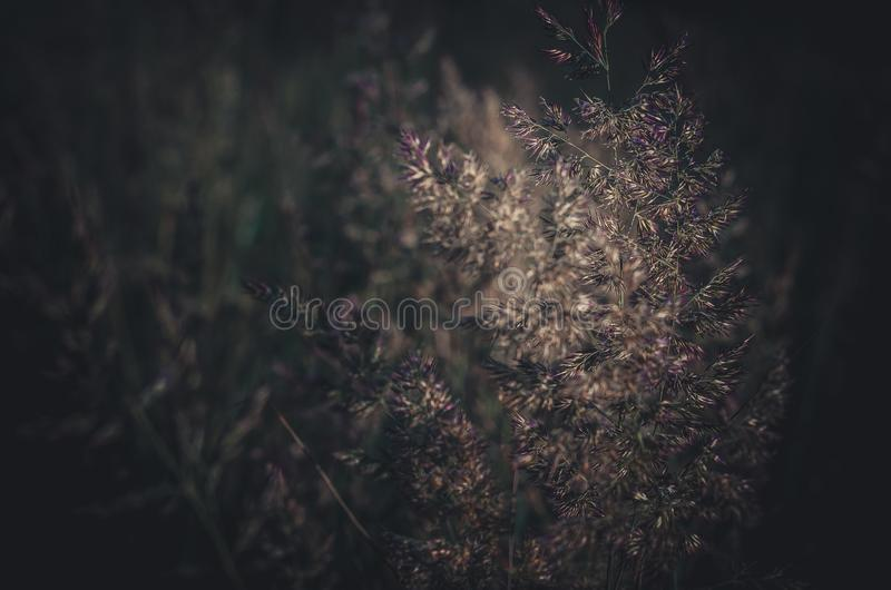 Fond brouillé fort des herbes vertes de champ Épillets verts sur un fond foncé photographie stock libre de droits