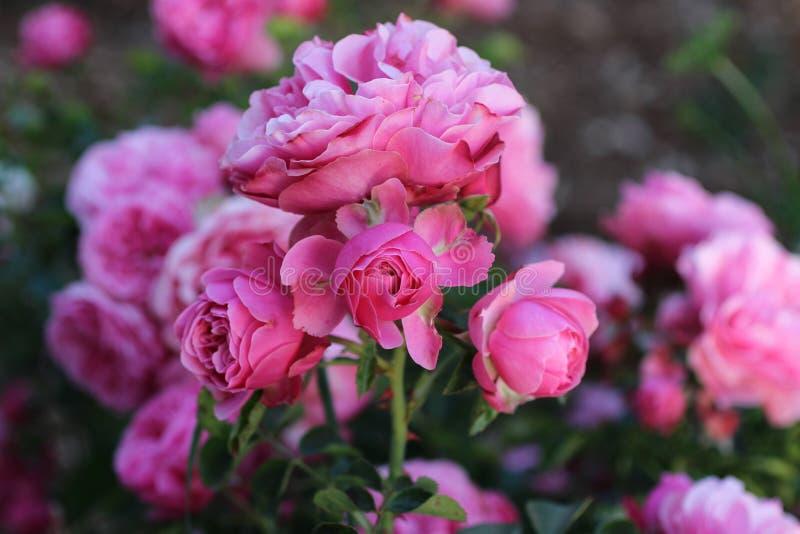 Fond brouillé par Rose rose image stock