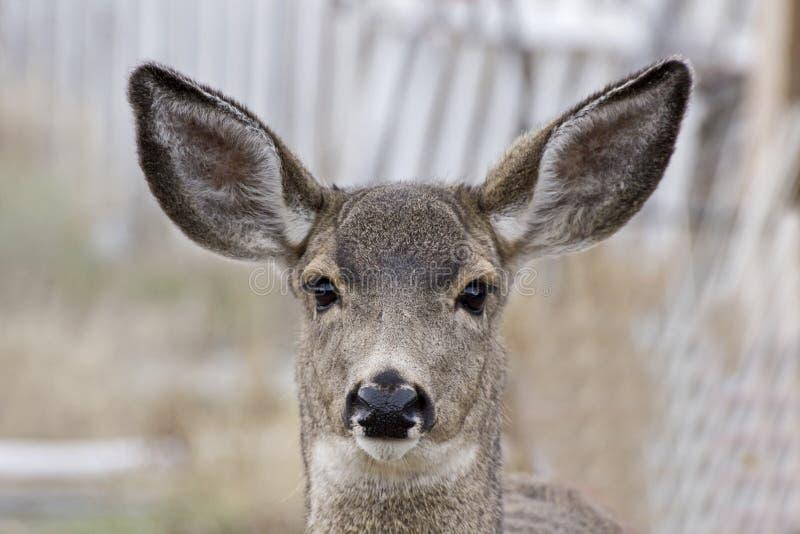 Fond brouillé par tir femelle de tête de cerfs communs de mule image stock