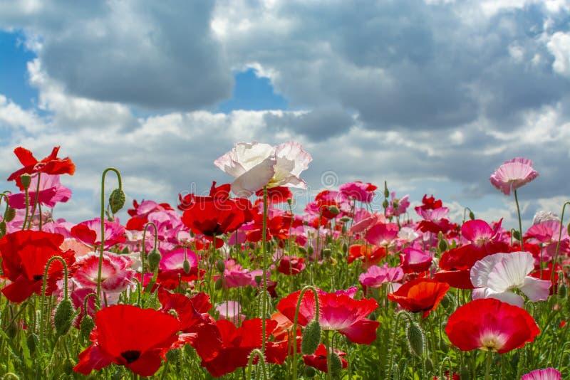 Fond coloré de nature, champs de pavot avec blanc, rose et fleurs rouges de pavot photographie stock libre de droits