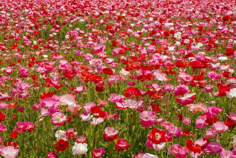 Fond coloré de nature, champs de pavot avec blanc, rose et fleurs rouges de pavot images stock