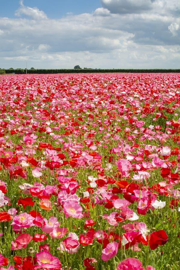 Fond coloré de nature, champs de pavot avec blanc, rose et fleurs rouges de pavot photos stock