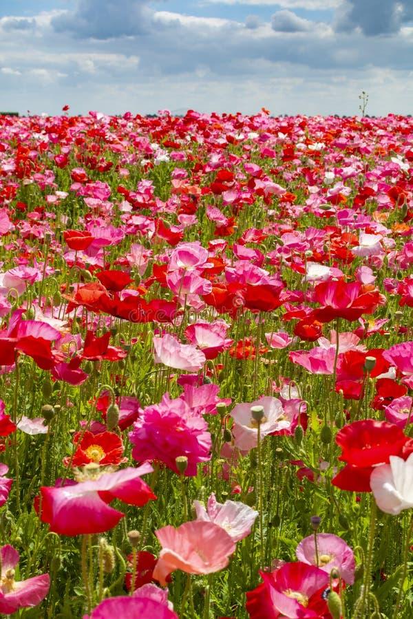 Fond coloré de nature, champs de pavot avec blanc, rose et fleurs rouges de pavot images libres de droits