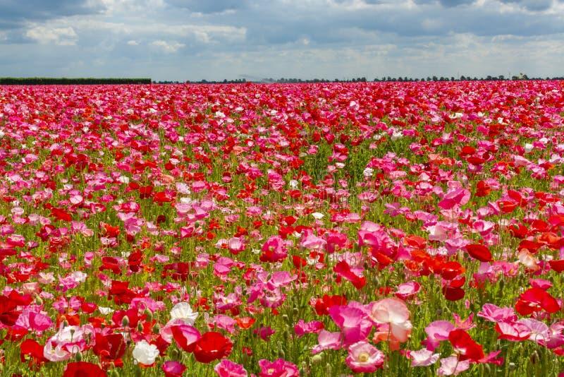 Fond coloré de nature, champs de pavot avec blanc, rose et fleurs rouges de pavot photographie stock