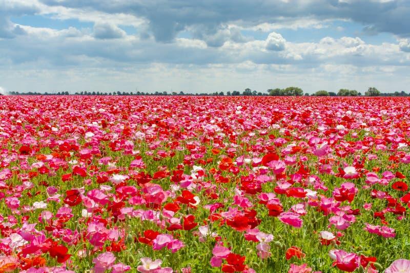 Fond coloré de nature, champs de pavot avec blanc, rose et fleurs rouges de pavot photo stock