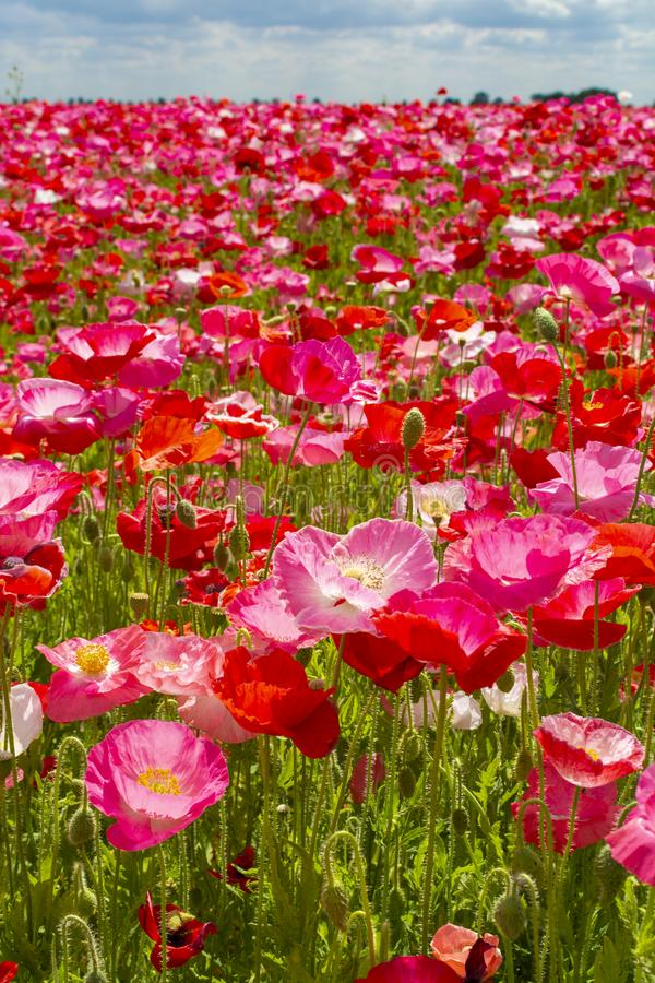 Fond coloré de nature, champs de pavot avec blanc, rose et fleurs rouges de pavot image stock