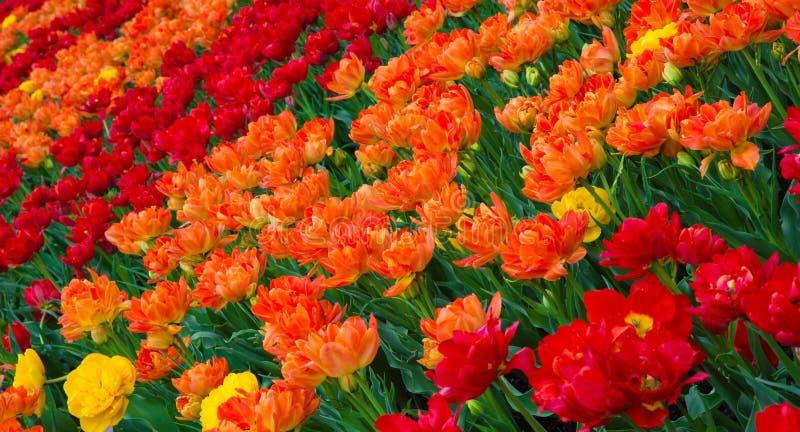 Fond coloré de nature des fleurs de tulipes images libres de droits