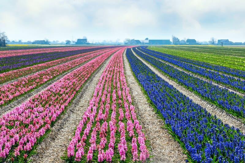 Fond coloré de panorama de fleur de ressort de champ néerlandais de jacinthe images libres de droits