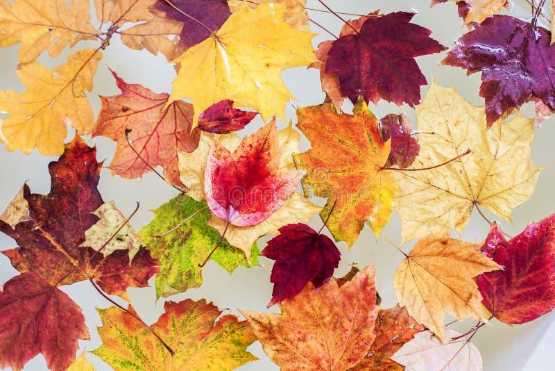 Fond coloré des feuilles d'automne flottant dans l'eau photographie stock libre de droits