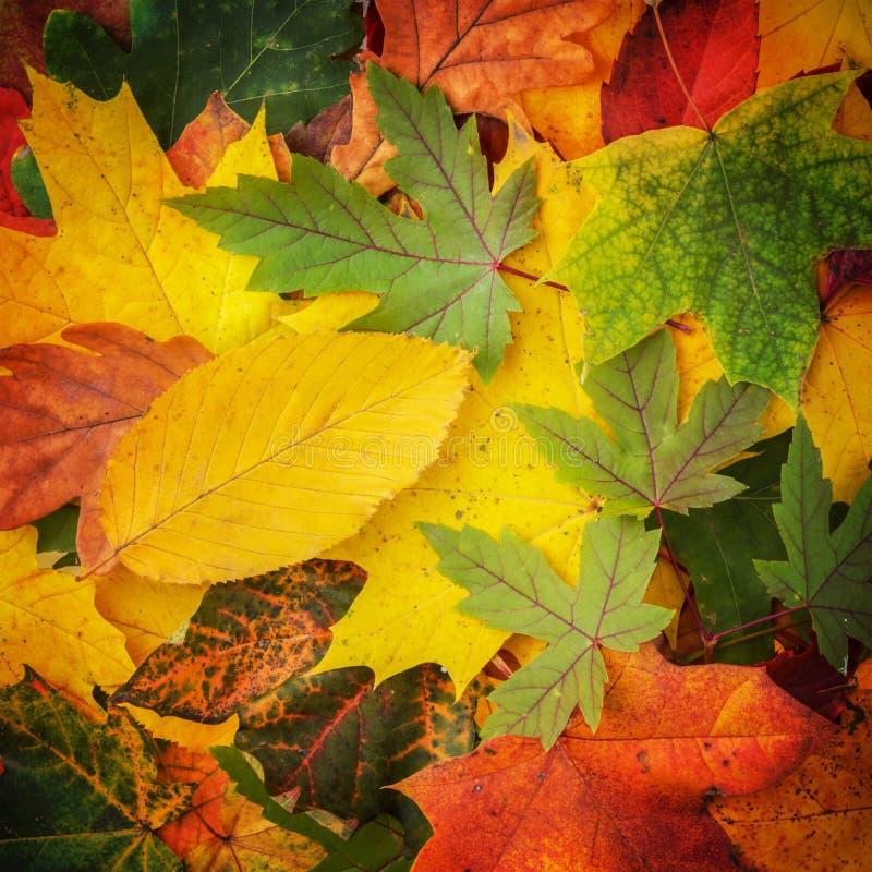 Fond coloré et lumineux fait de feuilles d'automne tombées photos stock