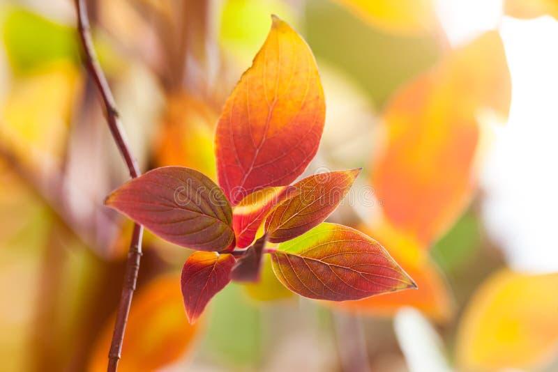 Fond coloré naturel d'automne de macro feuilles image libre de droits