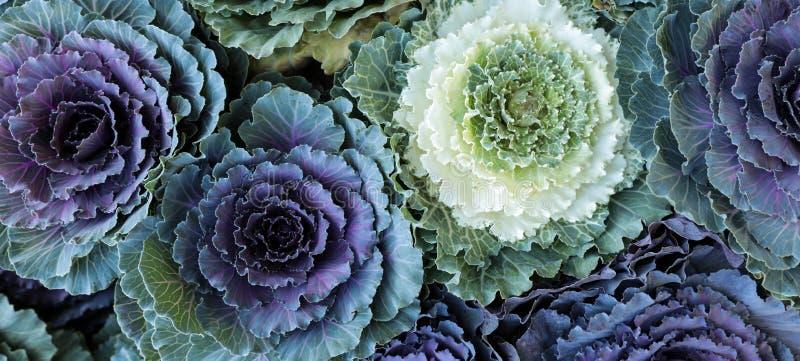 Fond décoratif de fleurs de chou de brassica oleracea ornemental de choux de la vue supérieure image stock