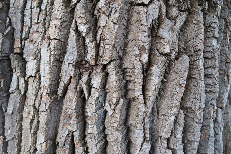 Fond détaillé de texture d'écorce d'arbre ?corce de peuplier photos libres de droits