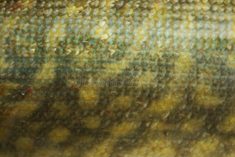 Fond d'échelles de poissons Fond de brochet d'échelle images libres de droits