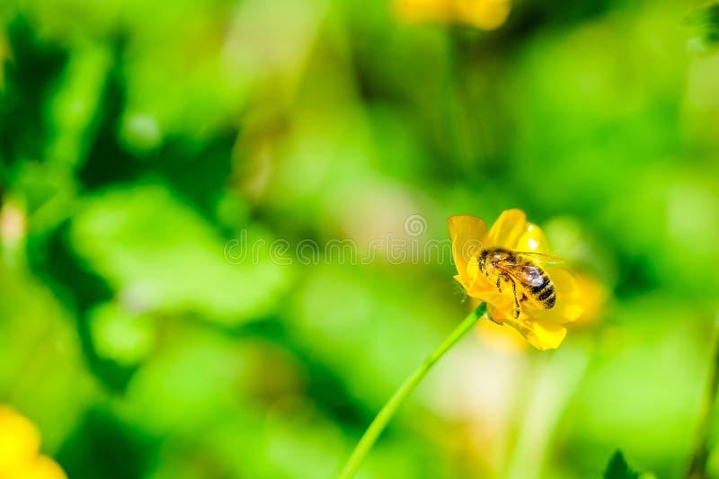 Fond d'été : abeille de miel pollinisant la fleur colorée photos libres de droits