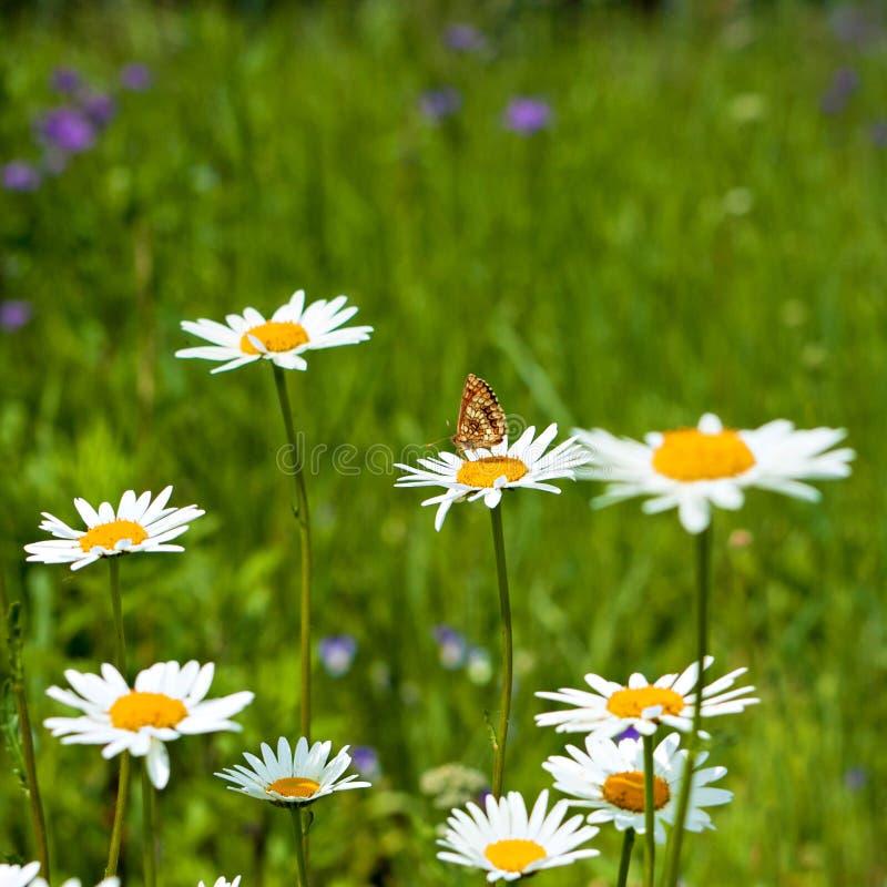 Fond d'été avec des marguerites photographie stock libre de droits