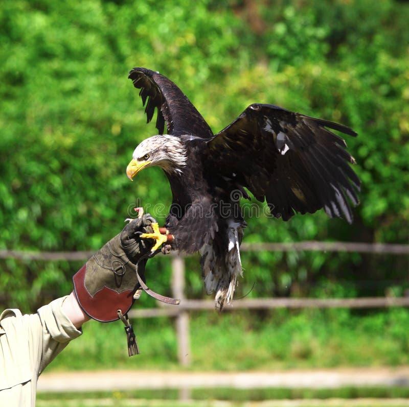 Fond d'aigle chauve photographie stock