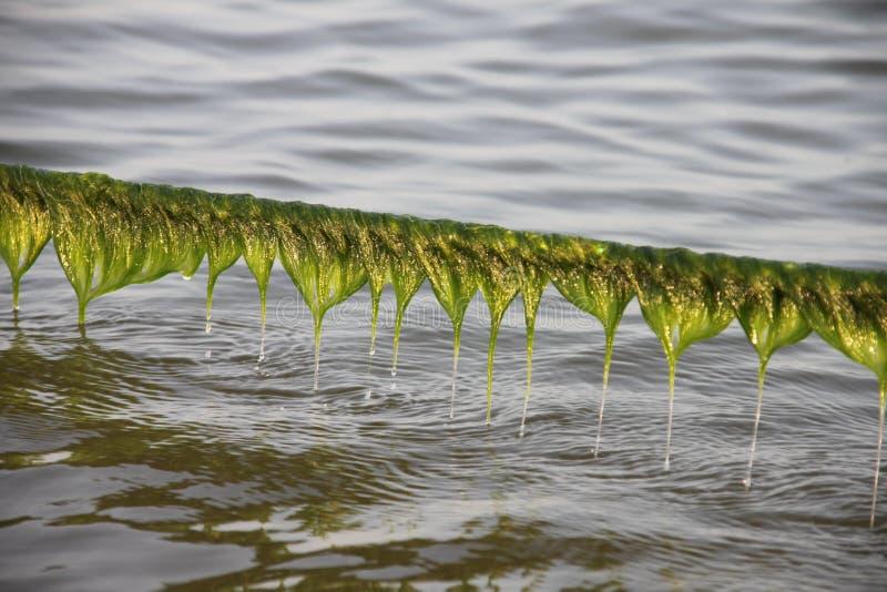 Fond d'algues pour le circuit économiseur d'écran de bureau image stock