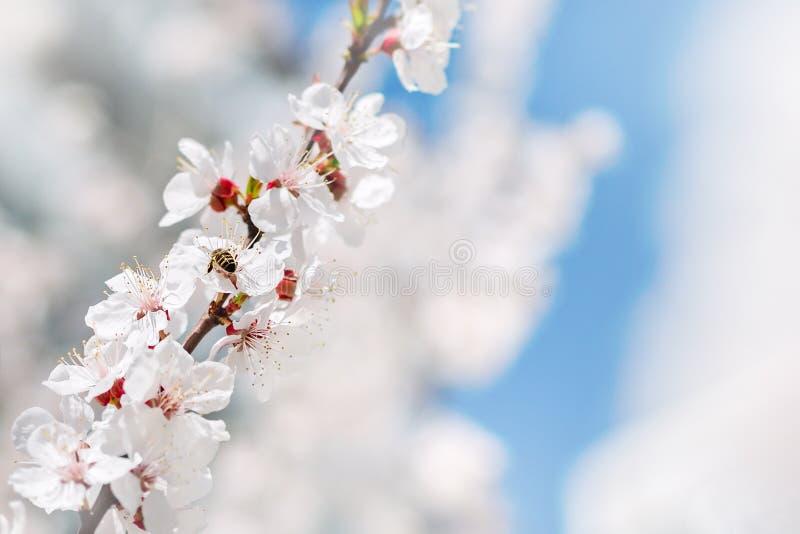 Fond d'aquarelle L'abeille rassemble le pollen des fleurs Branches d'arbre de floraison avec les fleurs blanches, ciel bleu sprin photographie stock