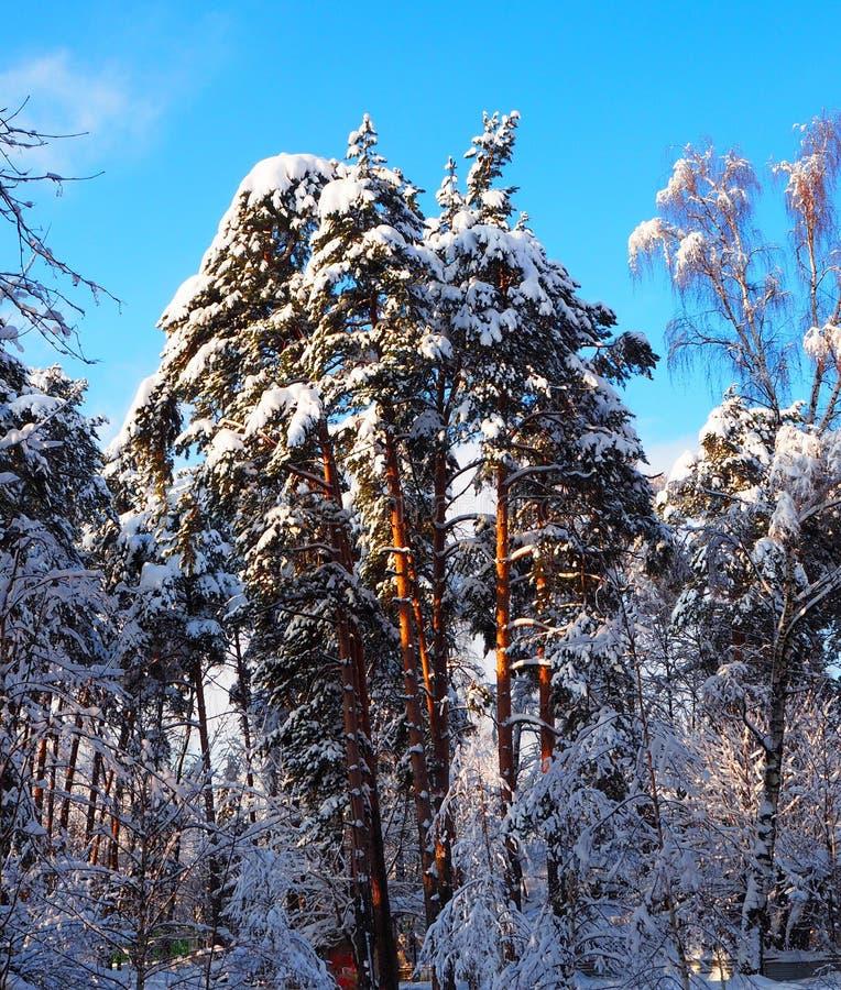 Fond d'arbres et de pins de Milou avec le ciel bleu Paysage de forêt d'hiver avec la neige photos libres de droits