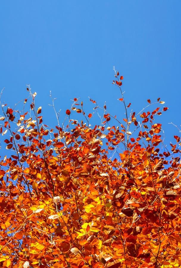 Fond d'automne avec un arbre et un ciel de feuille et bleu d'or images libres de droits