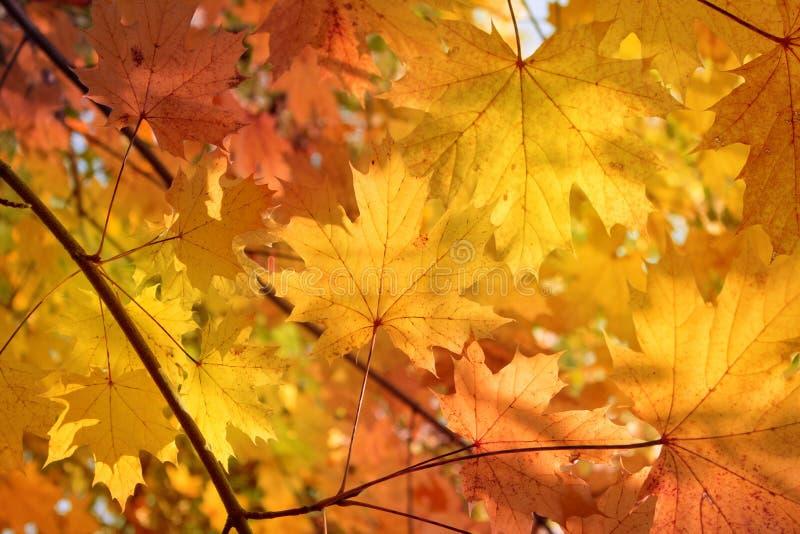 Fond d'automne - feuilles de rouge photographie stock libre de droits