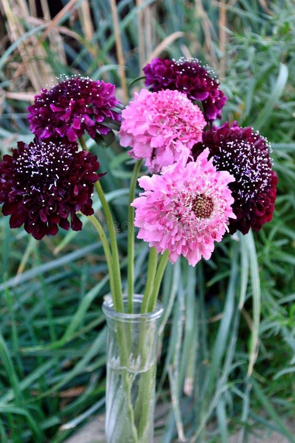 Fond d'herbe de bouquet de fleur de pelote à épingles de chevalier de Salmon Queen Black Pompom Black image libre de droits