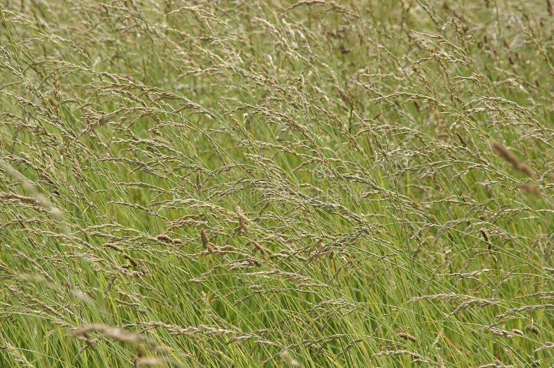 Fond d'herbe sauvage image libre de droits