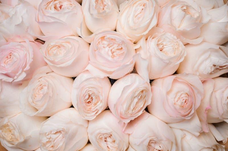 Fond d'image des roses rose-clair fraîches Texture de fleur photographie stock