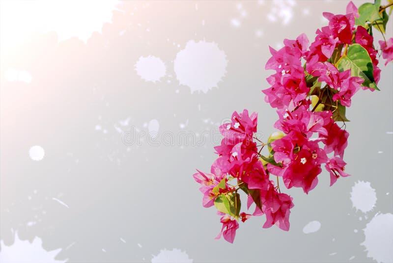 Fond d'isolement par coupe-circuit de fleur de bouganvillée illustration stock