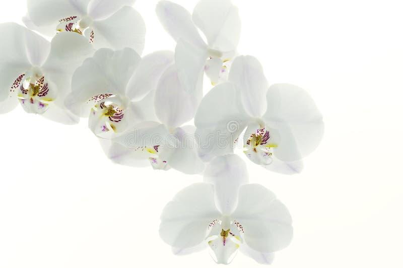 Fond d'orchidée photographie stock