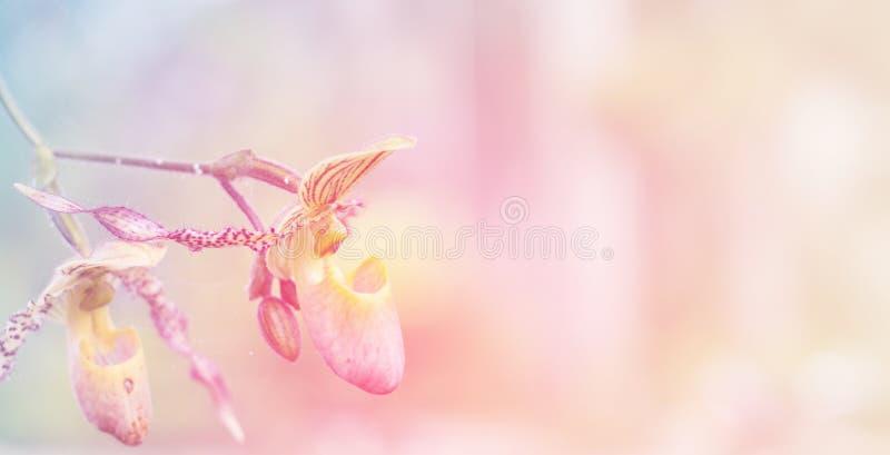 Fond d'orchidée de pantoufle de Madame image libre de droits