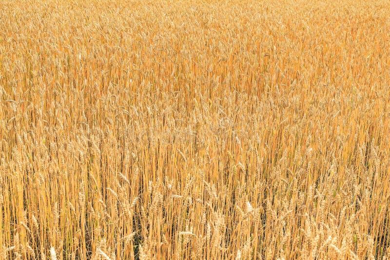 Fond d'oreilles de bl? Industrie agricole La ferme Produits organiques image libre de droits