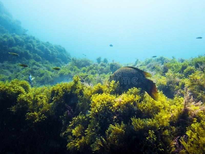 Fond d'un fond de la mer avec des poissons et des algues images stock