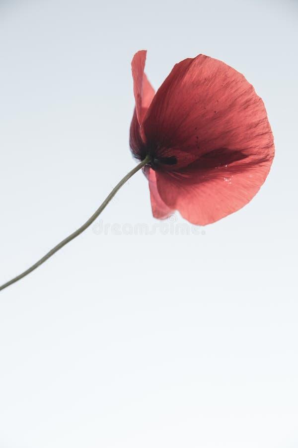 Fond de beau pavot rouge d'isolement et de ciel bleu image libre de droits